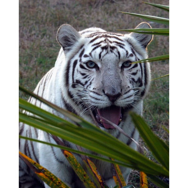 Photo Download White Tiger 08 - a websize - Photo