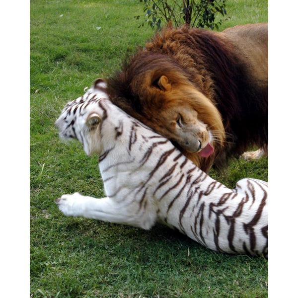 Photo Download White Tiger 09 - a websize - Photo