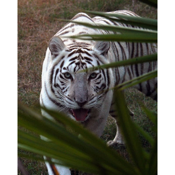 Photo Download White Tiger 10 - a websize - Photo