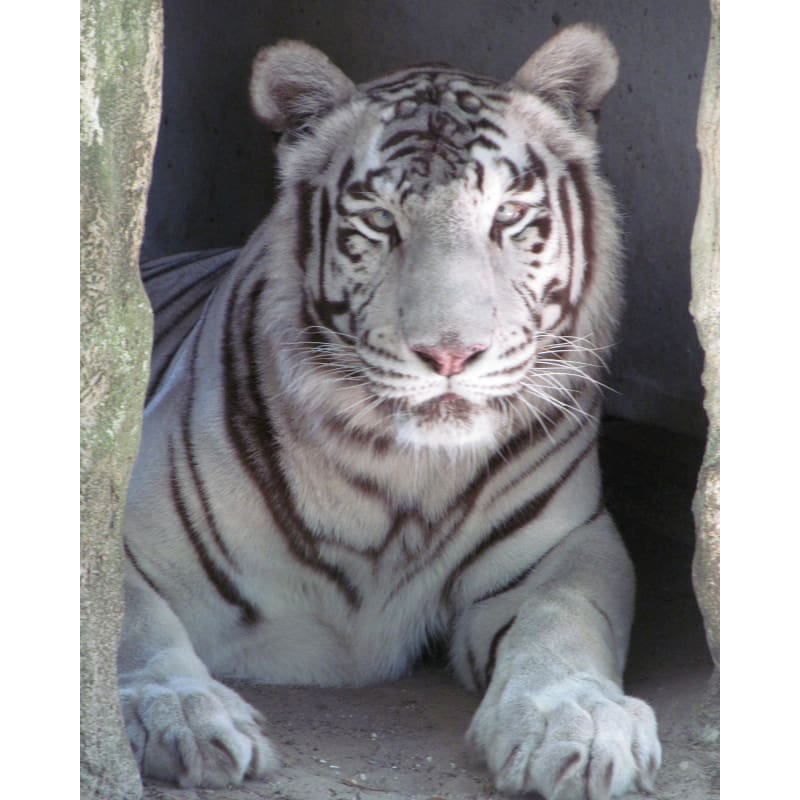 products/photo-download-white-tiger-11-c-8x10-inch-300-dpi-catrescue-mammal-vertebrate_517.jpg
