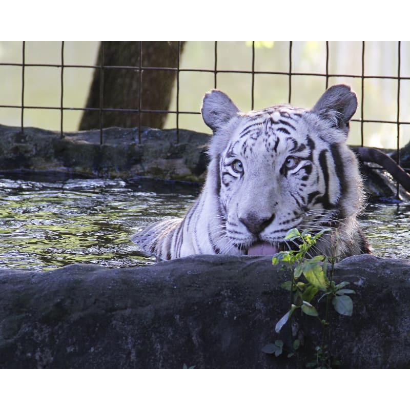 products/photo-download-white-tiger-12-c-8x10-inch-300-dpi-catrescue-vertebrate-bengal_685.jpg