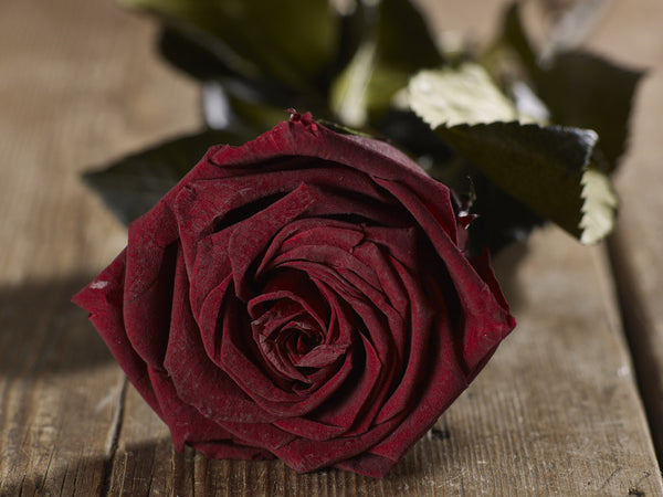 Dark Red Infinite Rose