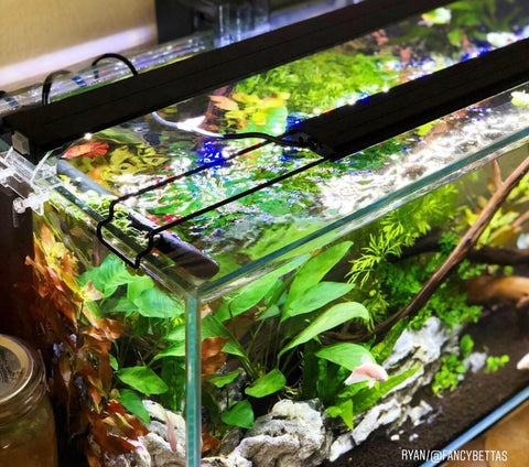 planted betta sorority fish tank female platinum half mook plakat