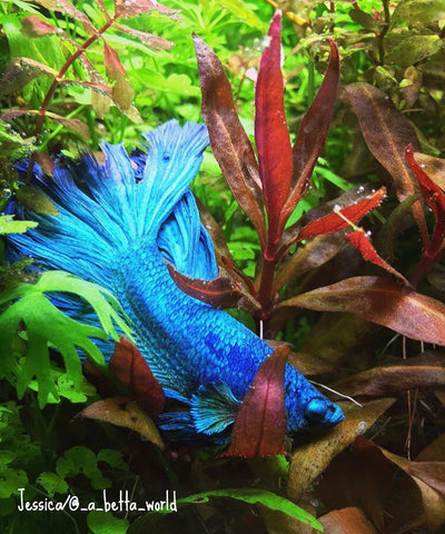 half moon male betta