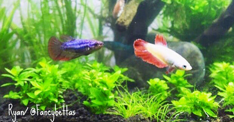 fancy half moon bettas