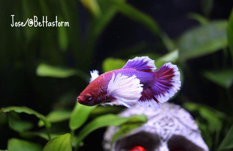 red, purple, and white butterfly half moon plakta dumbo male betta