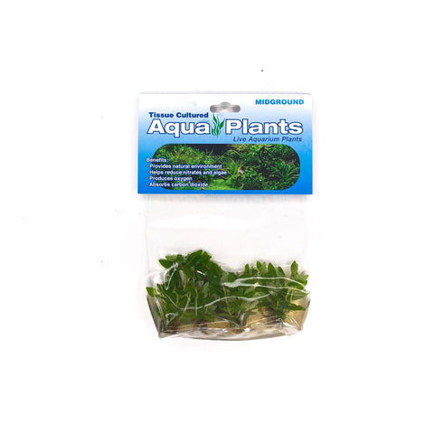 Staurogyne Repens - Complete Aquatics Tissue Culture - H2O Plants