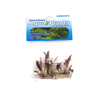 Cryptocoryne SP Flamingo - Complete Aquatics Tissue Culture - H2O Plants