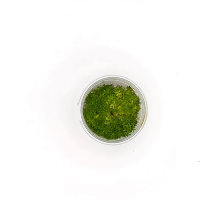 Rotala Bonsai - Complete Aquatics Tissue Culture