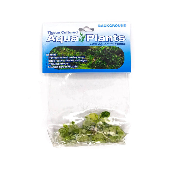 "Anubias-Nana-""Variegated""-Tissue Culture-H2OPlants"