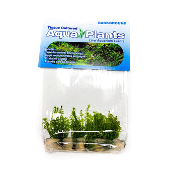Rotala Wallichii - Complete Aquatics Tissue Culture - H2O Plants