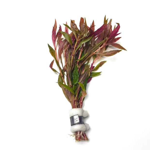 Alternanthera Lilacina red aquarium stem plant h2o plants