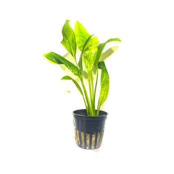 Tropica Broadleaf Amazon Sword | Echinodorus 'Bleherae' | Easy Green Aquarium Plant - H2O Plants