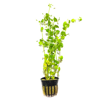 Mint Charlie - H2O Plants