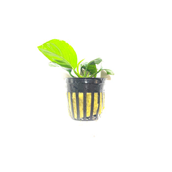 Anubias Barteri | Easy Green Aquarium Plant - H2O Plants