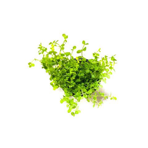 Monte Carlo | Micranthemum Tweediei | Easy Fast Carpeting Aquarium Plant - H2O Plants