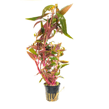 Tropica Alternanthera Reineckii 'Pink' - H2O Plants