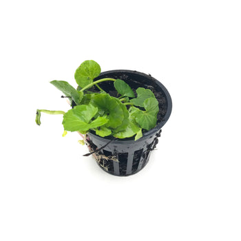 [Live Aquatic Plants & Essential Auqascaping Tools ] - H2O Plants