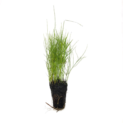 Dwarf Water Bamboo - H2O Plants