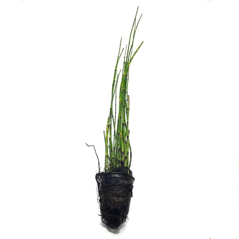 Horsetail Rush - H2O Plants