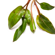 Cryptocoryne Wendtii (Red, Brown, Green) - H2O Plants
