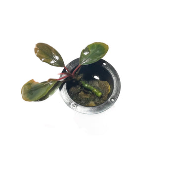 Bucephalandra-Cascade King-Potted-H2OPlants