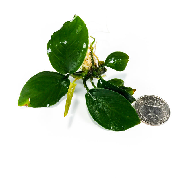 Anubias-Barteri-Potted-H2OPlants