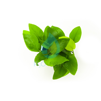 Anubias Nana SP Golden - H2O Plants