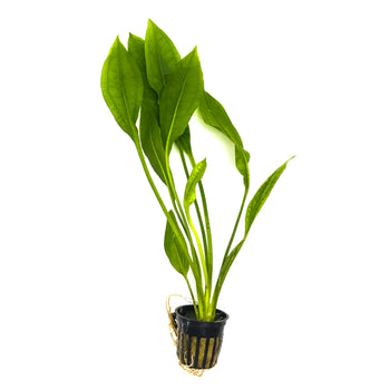 Amazon Sword Aquarium Plant Potted