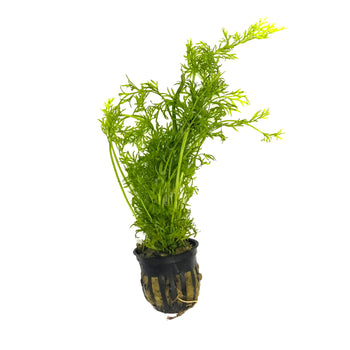 Water Sprite (Indian Fern) - H2O Plants