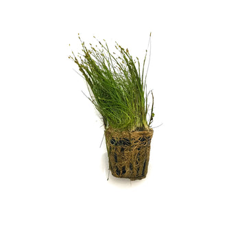Dwarf Hairgrass - H2O Plants