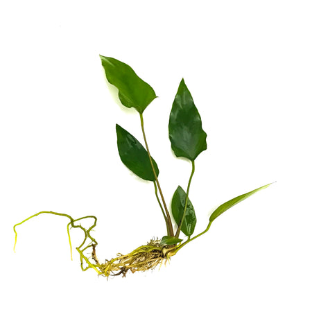 Anubias-Hastifolia-Potted-H2OPlants