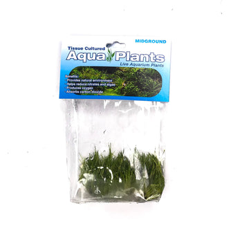 Dwarf Hair Grass Mini - Complete Aquatics Tissue Culture - H2O Plants