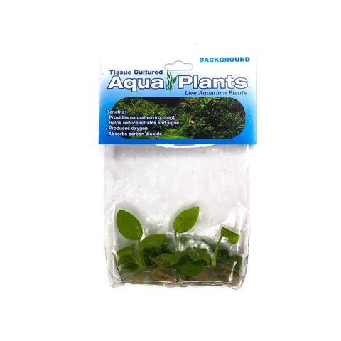 "Anubias Nana ""Golden"" - Complete Aquatics Tissue Culture - H2O Plants"