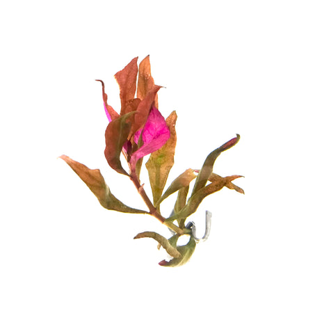 Alternathera Reineckii red stem aquarium plant