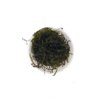 Willow Moss-Cup Portion-H2OPlants