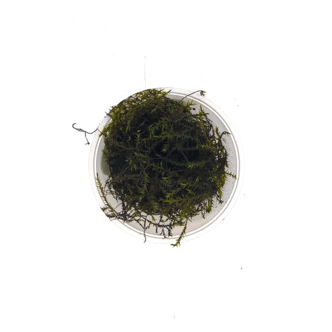 Willow Moss - H2O Plants