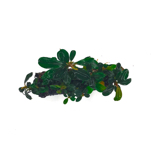 Bucephalandra Mixed on Stone