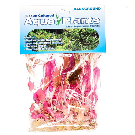 Alternanthera Reineckii - Complete Aquatics Tissue Culture