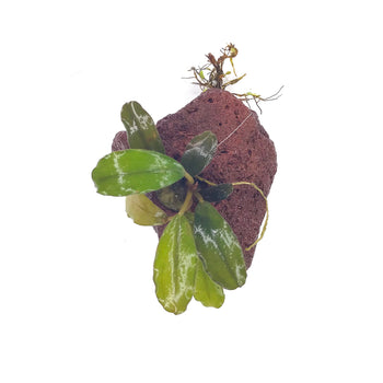 Bucephalandra-Lava Rock-Potted-H2OPlants