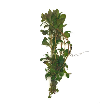 Ludwigia-Repens-Stems-H2OPlants