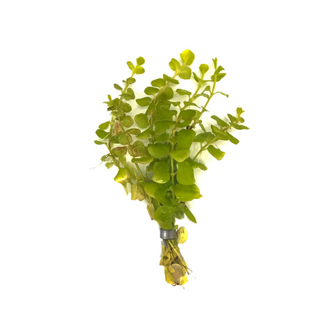 Golden Creeping Jenny - H2O Plants