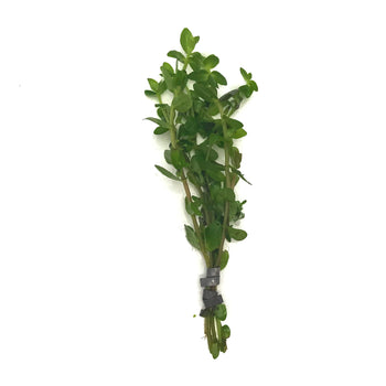 Bacopa Carolina-Stems-H2OPlants