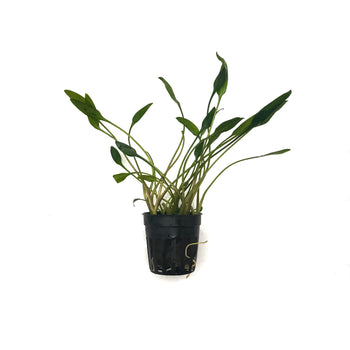 Cryptocoryne Lutea-Potted-H2OPlants