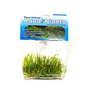 Pygmy Chain Sword - Complete Aquatics Tissue Culture - H2O Plants