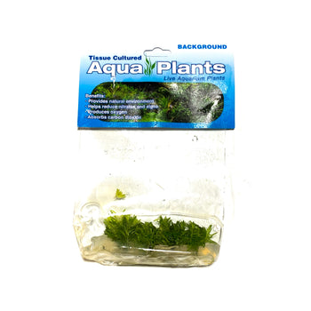 Pogostemon Erectus - Complete Aquatics Tissue Culture - H2O Plants