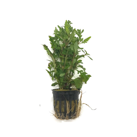 Hygrophila Pinnatifida - H2O Plants