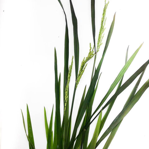Ornamental Rice - H2O Plants