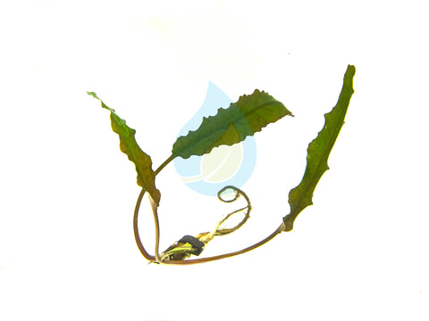 Cryptocoryne Petchii - H2O Plants