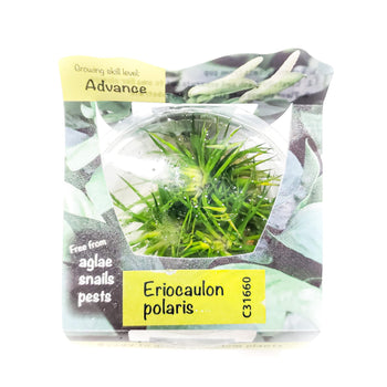 Eriocaulon Polaris - H2O Plants
